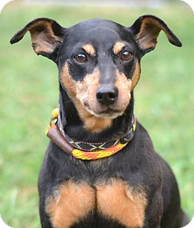Manchester Terrier/Terrier (Unknown Type, Small) Mix Dog for adoption in Linden, New Jersey - DEXTER