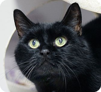 Domestic Mediumhair Cat for adoption in Norwalk, Connecticut - Clyde