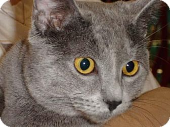 Chartreux Cat for adoption in Garland, Texas - Trooper