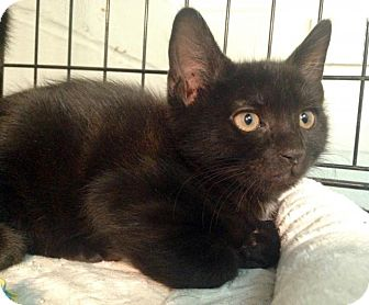 Domestic Shorthair Kitten for adoption in River Edge, New Jersey - Zircon