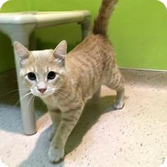 Domestic Shorthair Cat for adoption in Janesville, Wisconsin - Orpington