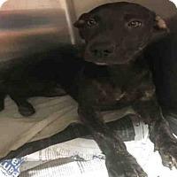 Adopt A Pet :: GOLDIE - Atlanta, GA