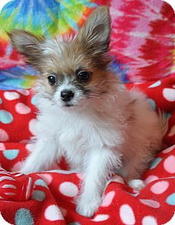 Chihuahua Mix Puppy for adoption in Lebanon, Tennessee - Kit