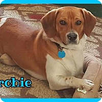 Beagle Dog for adoption in Jasper, Indiana - Archie