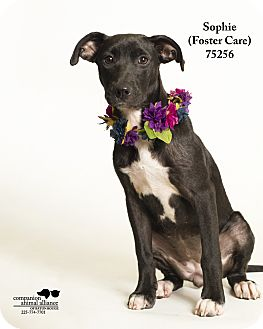 Labrador Retriever/Collie Mix Dog for adoption in Baton Rouge, Louisiana - Sophie (Foster Care)