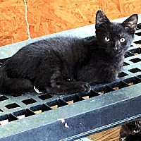 Adopt A Pet :: Sylvia - Williston Park, NY