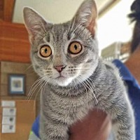 Adopt A Pet :: Newt - Rancho Santa Fe, CA