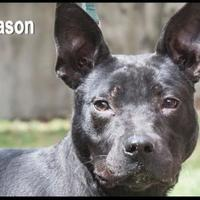 Adopt A Pet :: Mason - West Columbia, SC