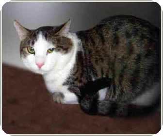 Domestic Shorthair Cat for adoption in San Clemente, California - ANDY