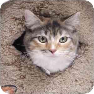 Calico Cat for adoption in Phoenix, Arizona - Delaney