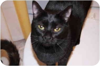 Domestic Shorthair Cat for adoption in Little Rock, Arkansas - Abby