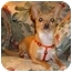 Photo 3 - Chihuahua Dog for adoption in Osseo, Minnesota - ChiChi