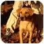 Photo 2 - Labrador Retriever/Rhodesian Ridgeback Mix Dog for adoption in Windham, New Hampshire - Chole