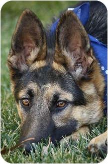 German Shepherd Dog Puppy for adoption in Los Angeles, California - Rudolf von Ralingen