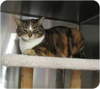 Domestic Shorthair Cat for adoption in Markham, Ontario - Mylie