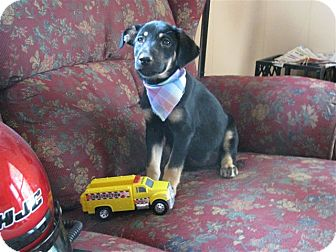 Feist/German Shepherd Dog Mix Puppy for adoption in Hartford, Connecticut - Bonnie