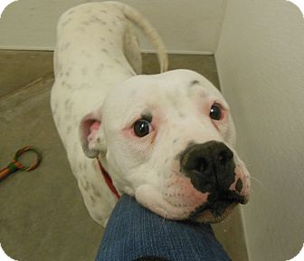 American Bulldog Dog for adoption in Phoenix, Arizona - Fabio