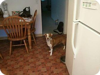 Terrier (Unknown Type, Medium) Mix Dog for adoption in Sacramento, California - Bobo, sweet lil guy