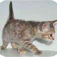 Adopt A Pet :: Taffeta - Dallas, TX
