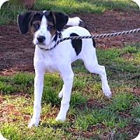 Adopt A Pet :: Pinto - Athens, GA