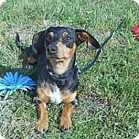 Adopt A Pet :: Lou - Lockhart, TX