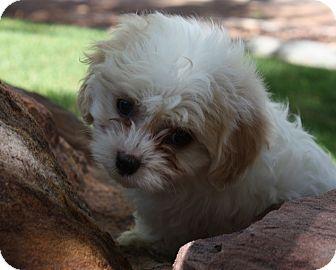 Bichon Frise/Shih Tzu Mix Puppy for adoption in Henderson, Nevada - Bruiser