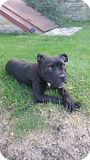 American Pit Bull Terrier/Labrador Retriever Mix Dog for adoption in West Allis, Wisconsin - Roxy