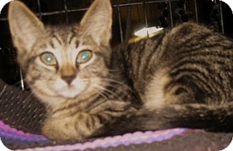 Maine Coon Kitten for adoption in Dallas, Texas - Tigger