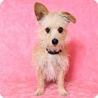 Adopt A Pet :: Poppy - Milan, NY