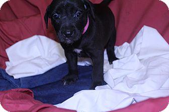 Labrador Retriever/Retriever (Unknown Type) Mix Puppy for adoption in Waldorf, Maryland - Quinn