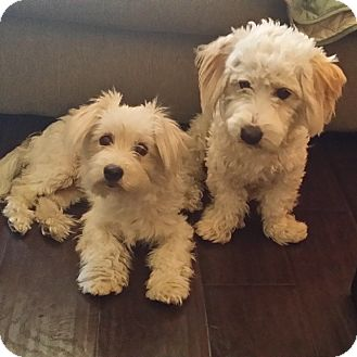 Maltese/Poodle (Standard) Mix Dog for adoption in Rancho Cucamonga, California - Gil