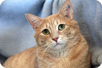 Domestic Shorthair Cat for adoption in St. Louis, Missouri - Leo