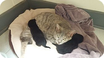 Domestic Shorthair Cat for adoption in Milwaukee, Wisconsin - Dharma