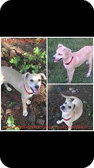 Labrador Retriever/Boxer Mix Puppy for adoption in Hearne, Texas - Sunni