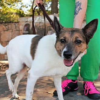 Jack Russell Terrier Mix Dog for adoption in Atlanta, Georgia - Princess A-LAP (in foster)