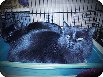 Domestic Mediumhair Kitten for adoption in Whiting, Indiana - Bolt