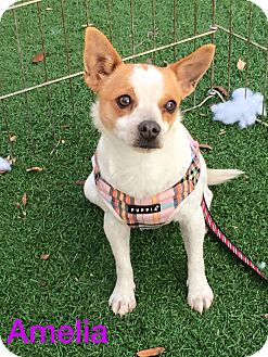Beagle/Rat Terrier Mix Dog for adoption in Henderson, Nevada - Amelia