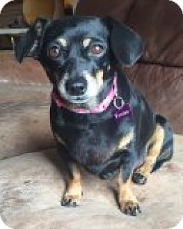 Dachshund Mix Dog for adoption in Las Vegas, Nevada - Jill