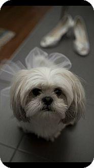 Shih Tzu Dog for adoption in Vaudreuil-Dorion, Quebec - Ari