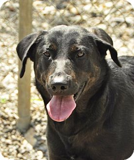 Retriever (Unknown Type)/Shepherd (Unknown Type) Mix Dog for adoption in Marble, North Carolina - Mindy