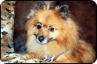 Pomeranian Dog for adoption in Dallas, Texas - Chicory