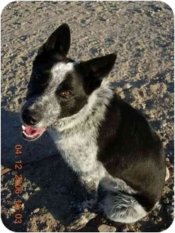 Border Collie/Cattle Dog Mix Dog for adoption in Thatcher, Arizona - Rodeo
