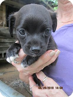 Chihuahua/Feist Mix Puppy for adoption in Lincolndale, New York - FLASH