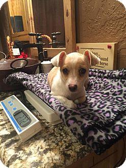 Chihuahua/Dachshund Mix Puppy for adoption in Kaufman, Texas - Sebastian