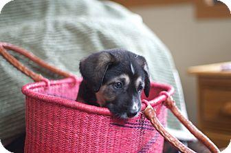 Labrador Retriever Mix Puppy for adoption in Evergreen, Colorado - Paradox