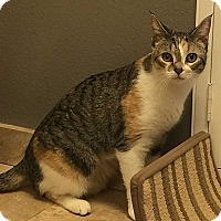 Domestic Shorthair Cat for adoption in Tampa, Florida - Henni-Pennies