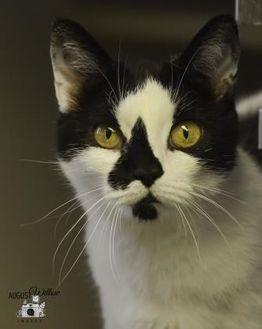 Domestic Shorthair/Domestic Shorthair Mix Cat for adoption in Ottumwa, Iowa - Maddy