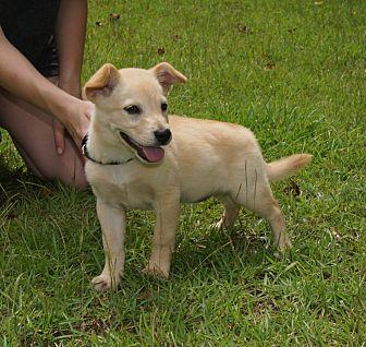 Shepherd (Unknown Type)/Golden Retriever Mix Puppy for adoption in Allentown, Pennsylvania - Taffy 💖 DOB 5/10/17!