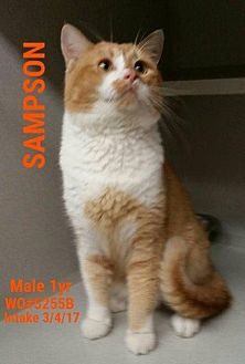 American Shorthair Cat for adoption in Fayetteville, West Virginia - Sampson