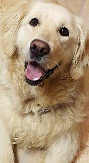 Golden Retriever Dog for adoption in Washington, D.C. - Morgan